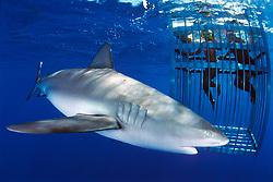 divers and Galapagos shark, Carcharhinus galapagensis, North Shore, Oahu, Hawaii, Pacific Ocean