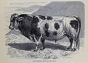The Friburg Bull From the book ' Royal Natural History ' Volume 2 Edited by Richard Lydekker, Published in London by Frederick Warne & Co in 1893-1894