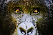 Close-up portrait of a silverback mountain gorilla (Gorilla beringei beringei) in the forest, Parc de Volcanos, Rwanda, Africa