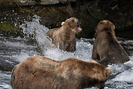 Brown Bears at Katmai's Brooks Falls involved in a brief territorial conflict.