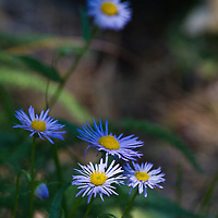 Cutleaf Daisies linger into mid-July on a north-facing slope near Missoula.