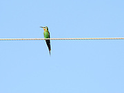 Israel, Olive Bee-eater, (Merops superciliosus) on a wire