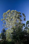 Details of Australian Eucalypt Trees against a blue sky.