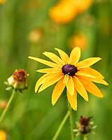 Sweet Black-eyed Susan. Image taken with a Leica SL2 camera and 90-280 mm lens