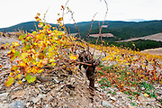Chateau des Erles. In Villeneuve-les-Corbieres. Fitou. Languedoc. Vines trained in Gobelet pruning. Vine leaves. Old, gnarled and twisting vine. Terroir soil. France. Europe. Schist slate soil.