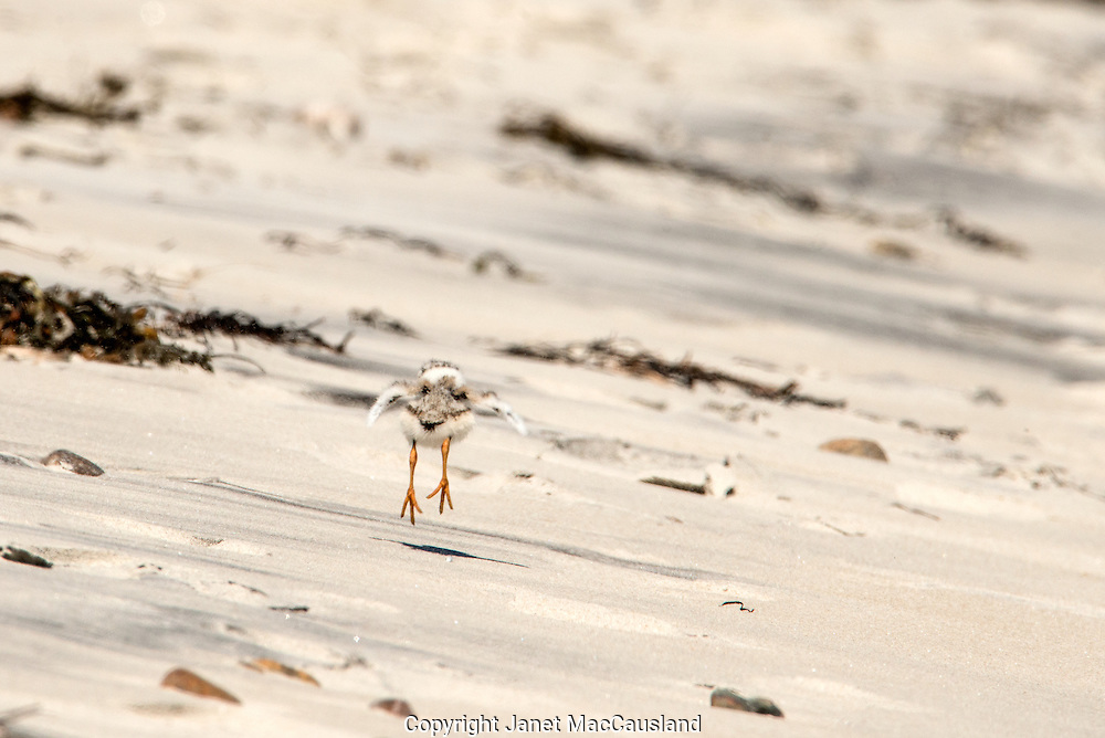 A piping Plover chick, only a few days old, jumps along the beach. These chicks forage for bugs soon after hatching.