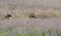 A Spotted Hyena, Crocuta crocuta, picks up a bone from a Thomson's Gazelle, Eudorcas thomsonii, that is being eaten by a female Lion, Panthera leo  melanochaita, in Ngorongoro Crater, Ngorongoro Conservation Area, Tanzania