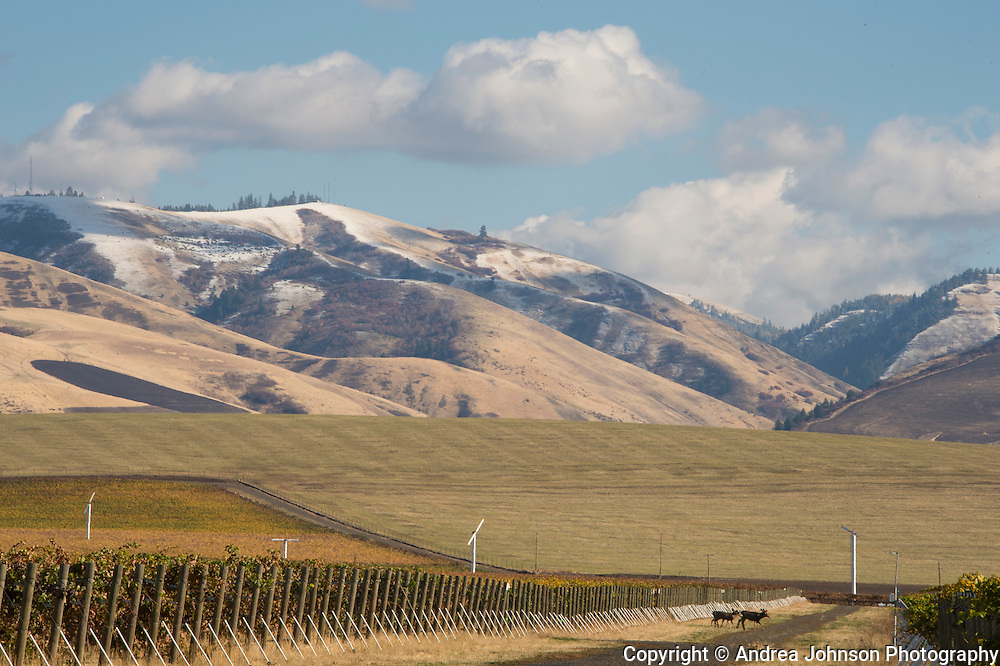 Les Collines Vineyard with snow capped Blue Mountains in background, Walla Walla, Washington