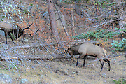 Two bull elk battle for dominance during the autumn rut.