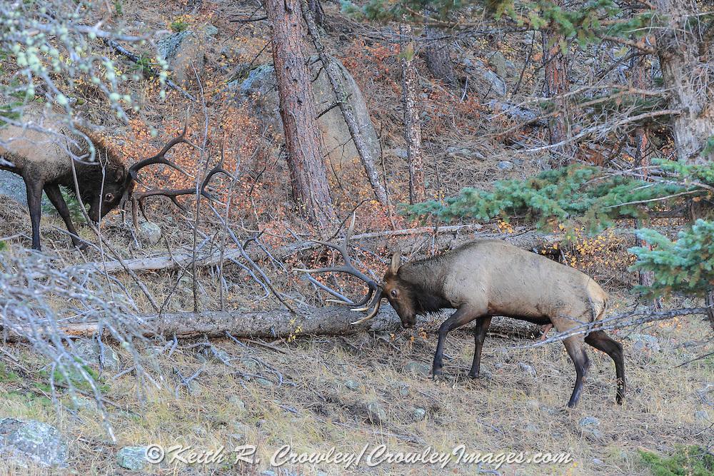 Two bull elk battle for dominance during the autumn rut.