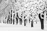 Snowy line of trees in black and white