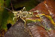 Green Spiny Katydid (Tettigoniidae)<br /> Yasuni National Park, Amazon Rainforest<br /> ECUADOR. South AmericaGreen Spiny Katydid (Clepsydronotus sp.,Tettigoniidae)<br /> Yasuni National Park, Amazon Rainforest<br /> ECUADOR. South America