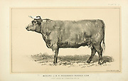 Sussex Cow from Cattle and dairy farming. Published 1887 by Govt. Print. Off. in Washington. United States. Bureau of Foreign Commerce (1854-1903)