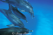 Atlantic spotted dolphins, Stenella frontalis, open-mouth threat display and squawk (note bubbles streaming from blowhole), Little Bahama Bank, Bahamas ( Western Atlantic Ocean )