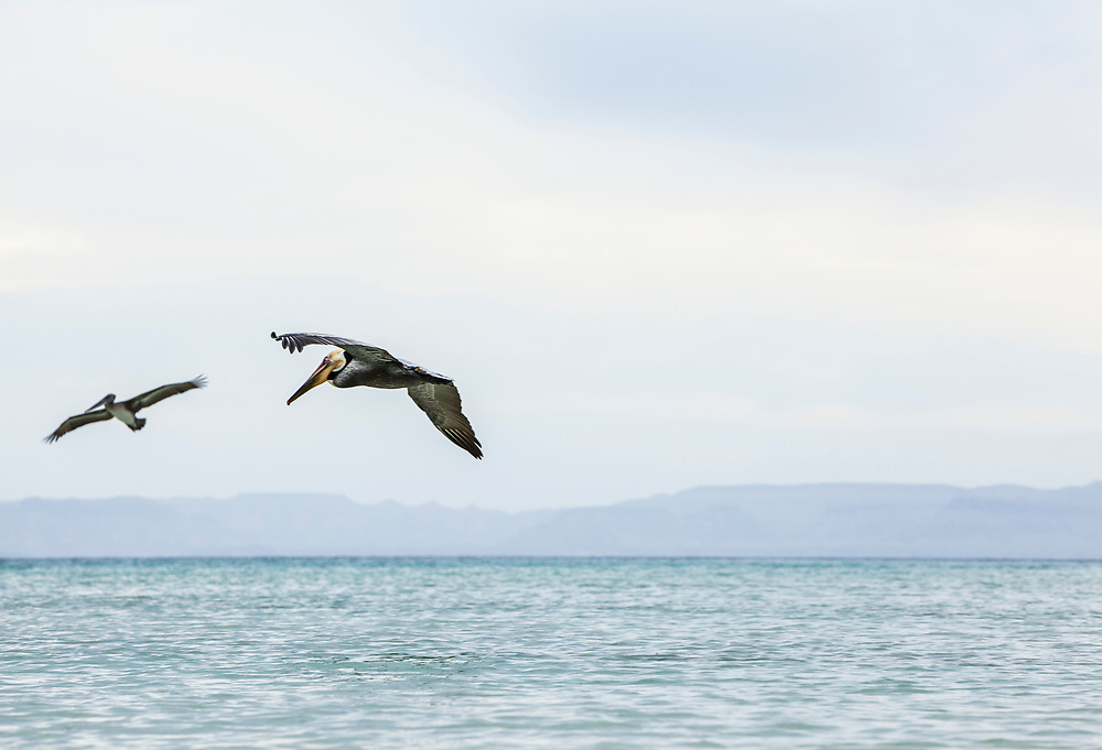 Two Brown Pelicans flying off the coast of Isla Espirito Santo, Gulf of California with the mainland Baja in the distance, BCS, Mexico.