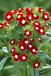 Dianthus barbatus 'Homeland' - sweet william