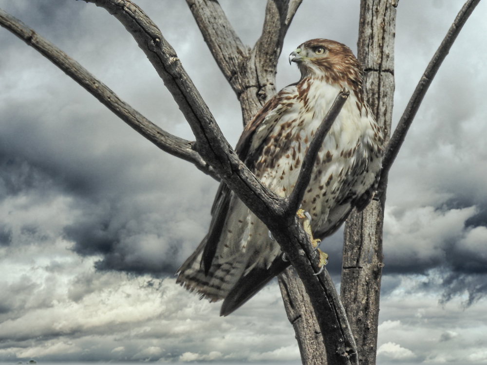 A red tailed hawk braves a coming storm