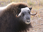 """Alaska; Portrait of a Muskox (Ovibos moschatus) cow on the Seward Peninsula, outside of Nome.  Muskox, called omingmak meaning """"the animal with skin lake a beard"""" by the local Inupiaq people."""
