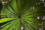 Fan Palm in the Daintree Rainforest, North Queensland, Australia
