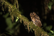 Rufescent screech owl (Megascops ingens)<br /> Western slopes of Andes<br /> Andes<br /> ECUADOR, South America<br /> Habitat & Range: subtropical or tropical moist montane forests of Bolivia, Colombia, Ecuador, Peru, and Venezuela