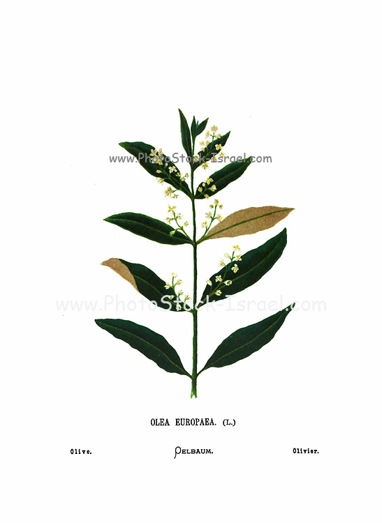 Olive tree, (Olea europaea), showing blossoms and leaves From the book Wild flowers of the Holy Land: Fifty-Four Plates Printed In Colours, Drawn And Painted After Nature. by Mrs. Hannah Zeller, (Gobat); Tristram, H. B. (Henry Baker), and Edward Atkinson, Published in London by James Nisbet & Co 1876 on white background