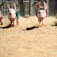Always a crowd favorite at the fair, four All-Alaska Racing Pigs trot up the first straightaway during a heated race around the track on Wednesday, as the 2018 Santa Cruz County Fair officially opened. <br /> Photo by Shmuel Thaler <br /> shmuel_thaler@yahoo.com www.shmuelthaler.com