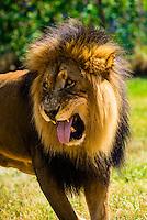 A male lion making a face, Lion Park, near Johannesburg, South Africa.