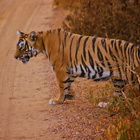 Asia, India, Ranthambore. Tiger crossing road at Ranthambore.