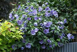 Hibiscus syriacus Blue Chiffon = 'Notwood3'. Rose of Sharon, Tree hollyhock