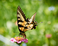 Tiger Swallowtail butterfly on a Zinnia flower. Image taken with a Nikon 1 V3 camera and 70-300 VR lens.