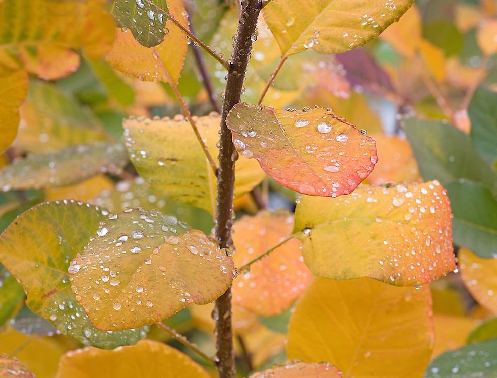 Raindrops on Autumn Tree Leaves