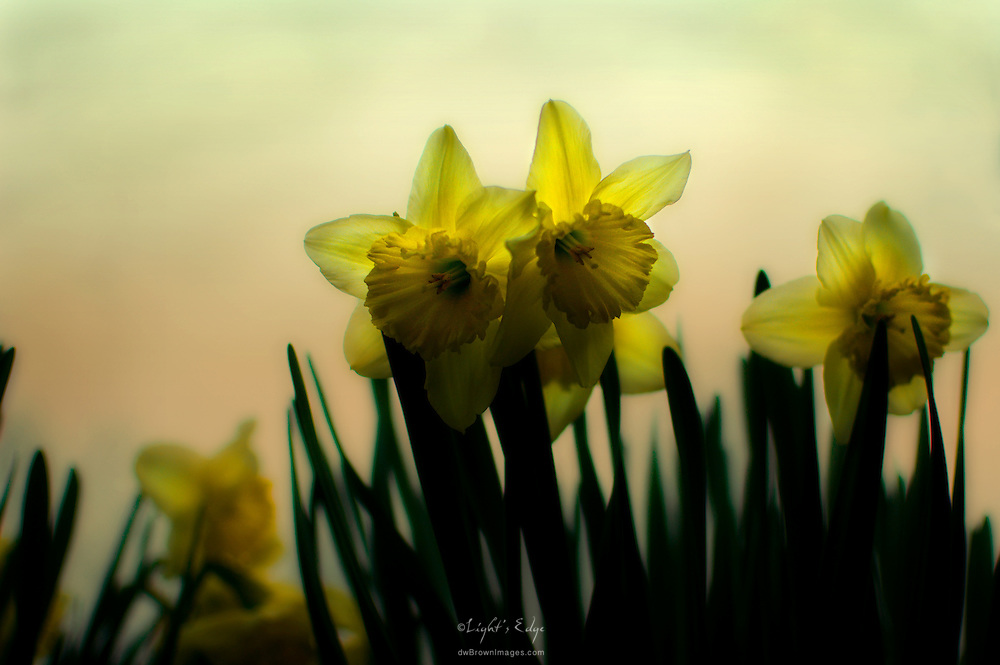 Daffodils grace the early spring sky. Taking a departure from the now normal shooting topics and trying to pay attention to those people and things that matter.