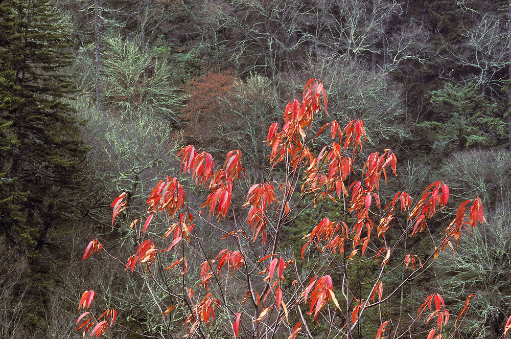 Sumac, autumn, Great Smoky Mountains National Park, Tennessee, USA