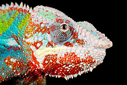 © under license to London News Pictures. 23/09/12. A Panther Chameleon. Animals appear to pose for their portrait as part of a photo session in Macro photography at Park Farm in the heart of Knowsley Safari Park in Merseyside. Photo credit should read IAN SCHOFIELD/LNP