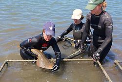 Melissa Miller Transferring Shovelnose Guitarfish