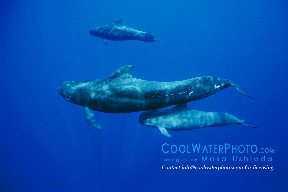 short-finned pilot whales, mother and calf, Globicephala macrorhynchus, Hawaii, Pacific Ocean