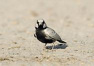 Ashy-crowned Sparrow-lark - Eremopterix griseus