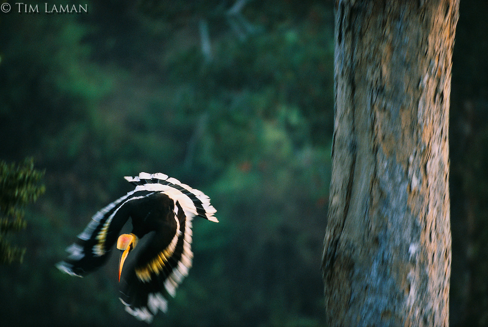 Great Hornbill (Buceros bicornis) male swoops down as he leaves the nesting tree in the background after delivering food to the female inside..Khao Yai National Park, Thailand..IUCN Red List: Near Threatened