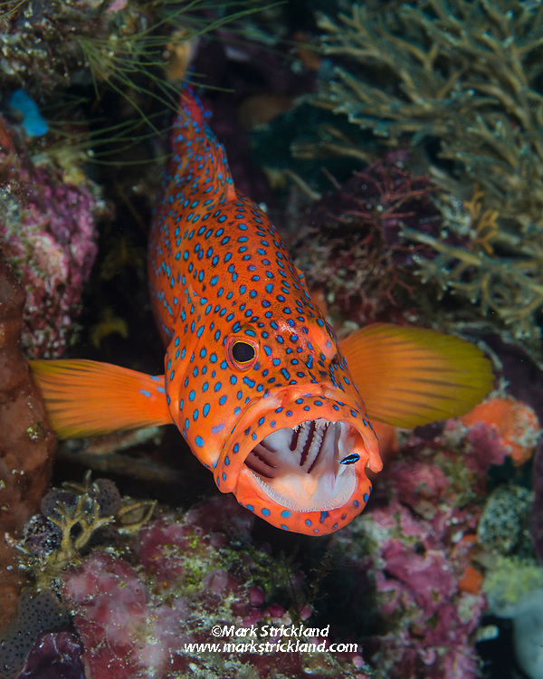 Bluespotted Coral Grouper, Cephalopholis miniata, being cleaned by a Bluestreak Cleaner Wrasse, Labroides dimidatus. Raja Ampat, West Papua, Indonesia, Indian Ocean