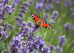 © Licensed to London News Pictures. 23/07/2014. Summerdown Farm, Hampshire, UK. A Peacock butterfly on Lavender flowers in bloom on Summerdown farm near Malshanger in Hampshire. The lavender will be harvested and distilled into lavender oil. Photo credit : Rob Arnold/LNP