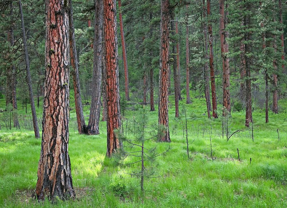 Sunlight on Ponderosa Pine Forest Floor, Oregon