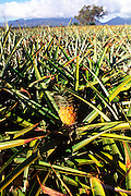 Pineapple field, Oahu, Hawaii<br />
