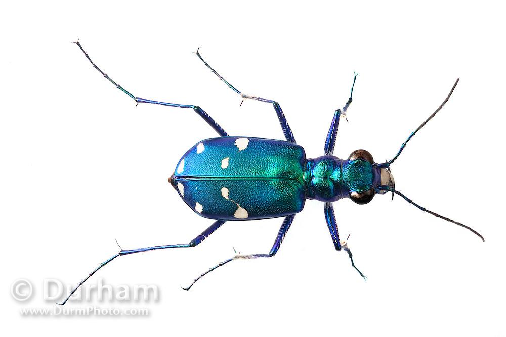 A tiger beetle ( Cicindela sp), east Texas.
