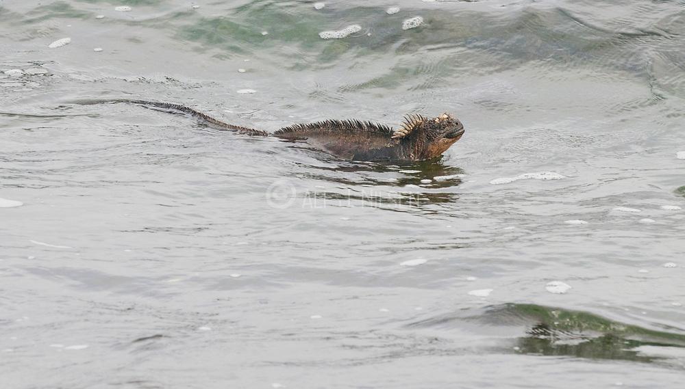 marine iguana (Amblyrhynchus cristatus) swimming at Puerto Egas (James Bay), Santiago island, Galapagos.