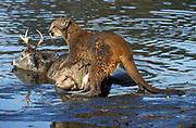 Mountain Lion, Felis concolor, Minnesota, USA, Puma, Cougar, on deer kill in river, prey