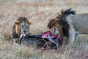 Two male lions (Panthera leo) feeding on a newly killed wildebeest in Maasai Mara, Kenya.