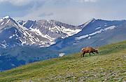 Bull Elk, near Trail Ridge Road, Rocky Mountain National Park.