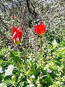 Tulipa agenensis (Mountain Tulip) red flowers in green field, Photographed in Israel in March