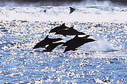 bottlenose dolphins, Tursiops aduncus travel the Wild Coast of Transkei, South Africa, hunting for shoals of sardines ( Indian Ocean )