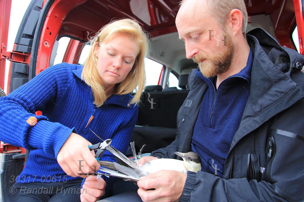 Biologists Elise Skottene and Sveinn Are Hanssen process Arctic skua (Stercorarius parasiticus) during field research; Kongsfjorden, Svalbard.